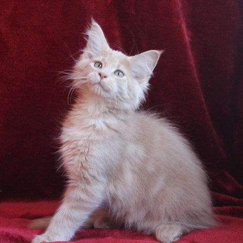 Bendjamin Maine Coon male kitten