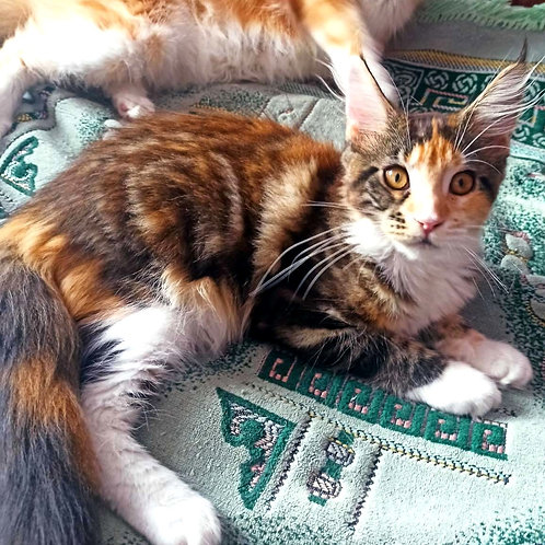528 Carina  Maine Coon female kitten