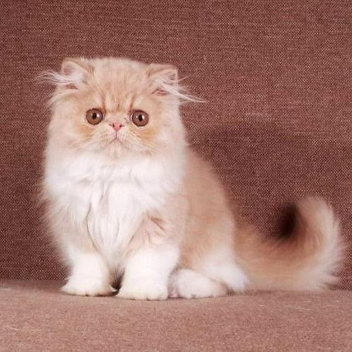 240 Timmy Persian  male kitten