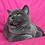 Thumbnail: 463 Marcipan      Scottish straight shorthair male kitten