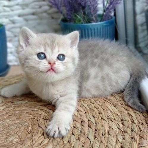 616 Nazar  British shorthair male kitten