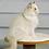 Thumbnail: 310 Henry   Ragdoll male kitten