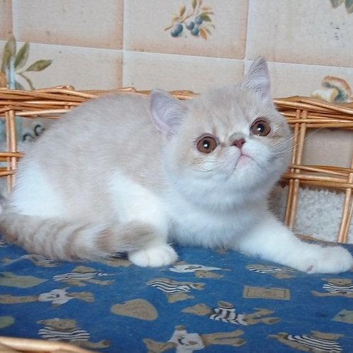 258 Barney    Exotic  male kitten