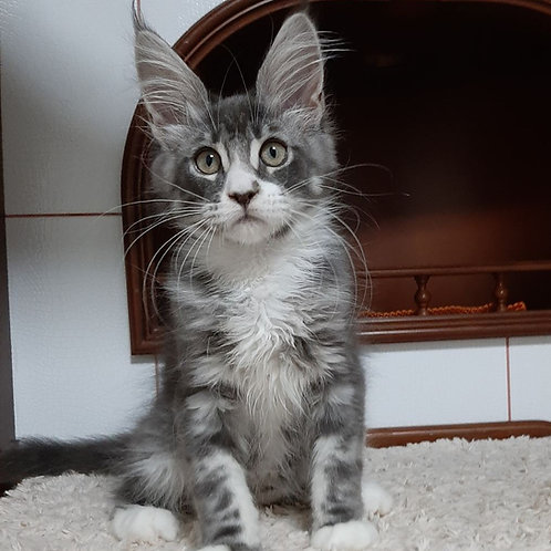 789 Sandra Maine Coon female kitten