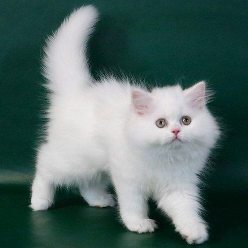 883 Queen   Scottish straight longhair female kitten