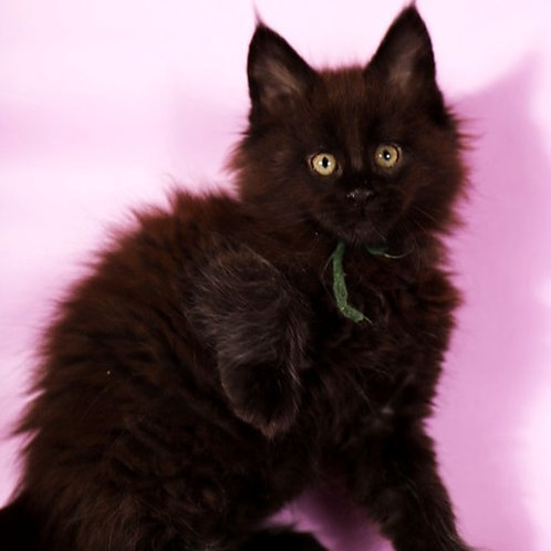 392 Egor  Maine Coon male kitten