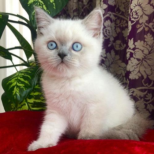 633 Theo   Scottish straight shorthair male kitten
