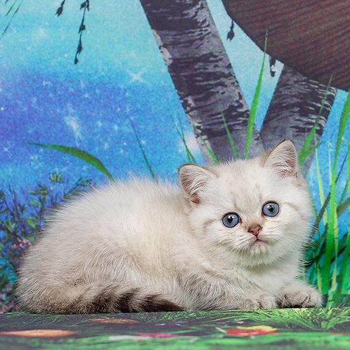 Triniti British shorthair female kitten