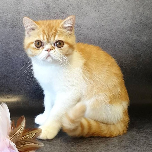 264 Lukas  Exotic  male kitten