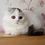 Thumbnail: 290 Quatro     Scottish fold longhair male kitten