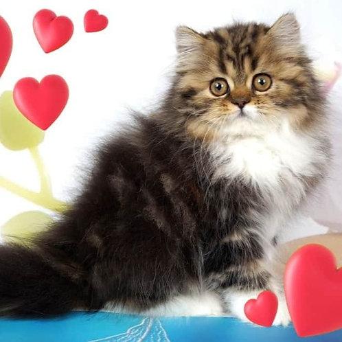 Polly Scottish straight longhair female kitten
