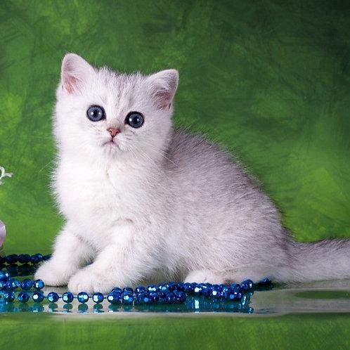 825 Beaty  British shorthair female kitten
