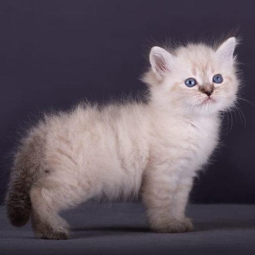623 Vesta Siberian female kitten