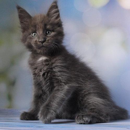 744 Simpson Maine Coon male kitten