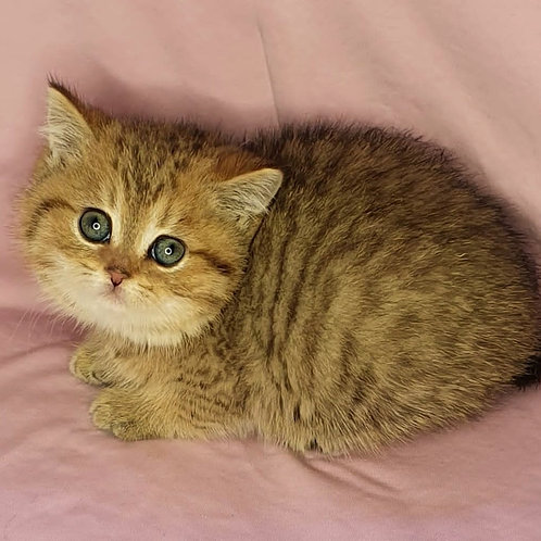 551 Hunka  British shorthair male kitten