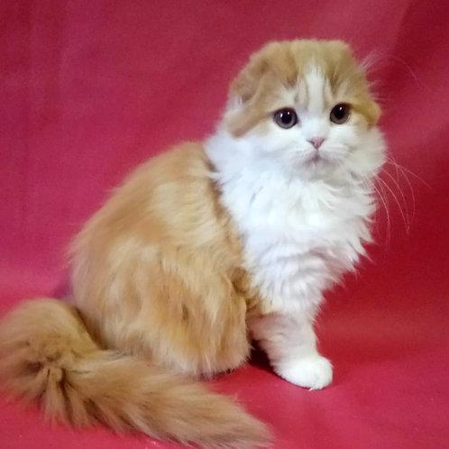 207 Nala    Scottish fold longhair female kitten