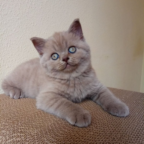 Smith British shorthair male kitten