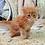 Thumbnail: 630 Nikolas  Maine Coon male kitten