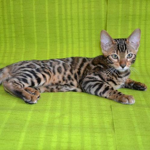 222 Camilla  purebred Bengal female kitten