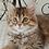 Thumbnail: 164 Bogdana     Siberian female kitten