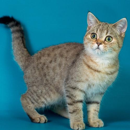 576 Vesta  Scottish straight shorthair female kitten