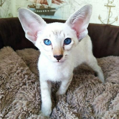 529 Archie  Oriental male kitten
