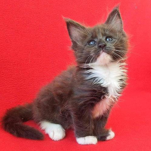 739 Hloe Maine Coon female kitten