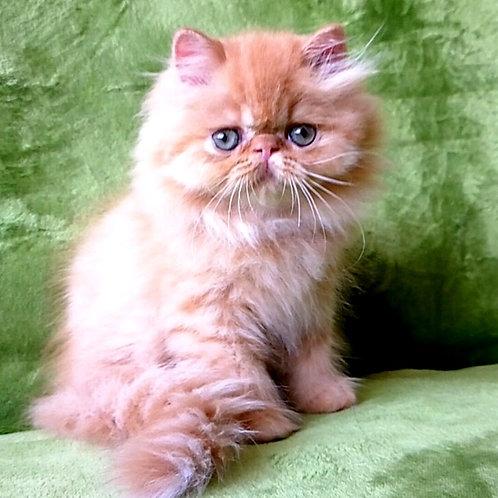 112 Xandra Persian female kitten