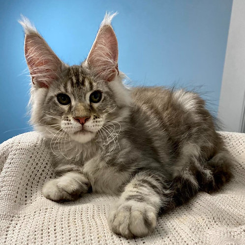 588 Bars  Maine Coon male kitten