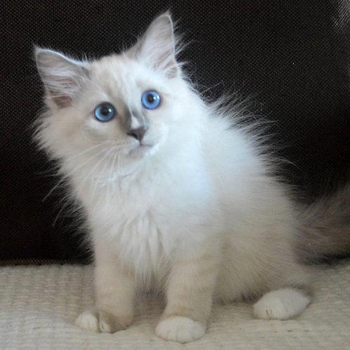241 Miron    Siberian male kitten
