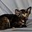 Thumbnail: 310 Unona   Oriental female kitten