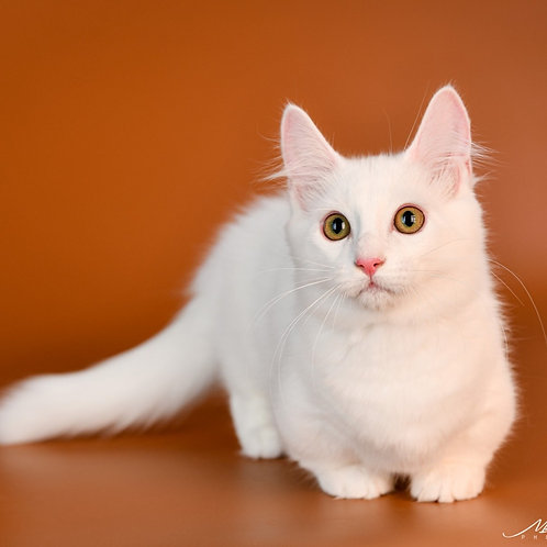 305 Esya Zukkerman  Munchkin male kitten