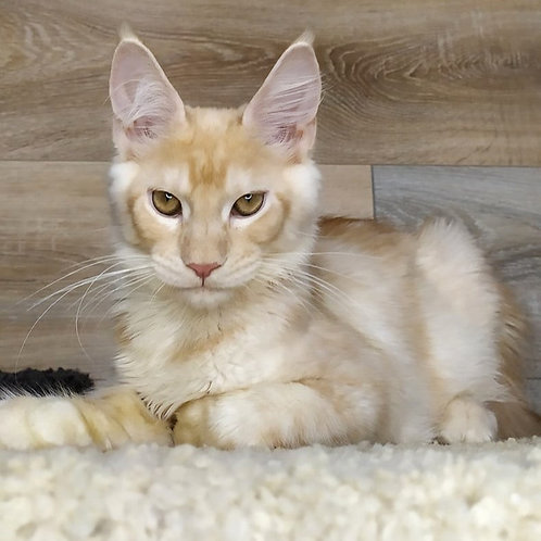 796 Nord  Maine Coon male kitten