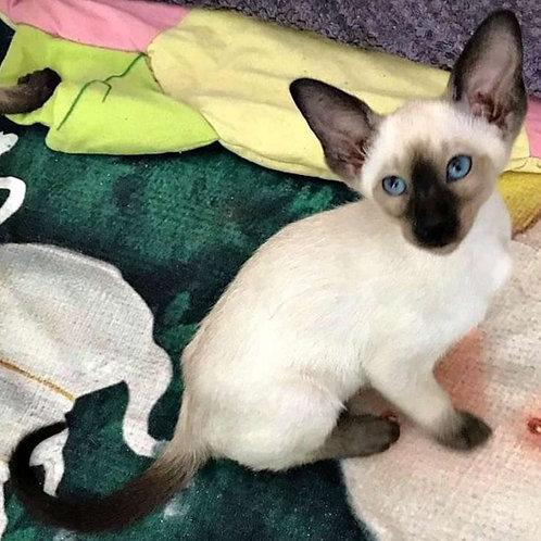 344 Dana Siamo Oriental female kitten