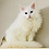 Thumbnail: 198 Ollius   Maine Coon male kitten