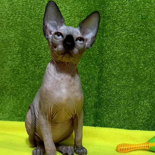 75 Frani   female Sphinx kitten