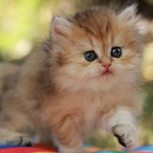 330 Elizabeth British longhair female kitten