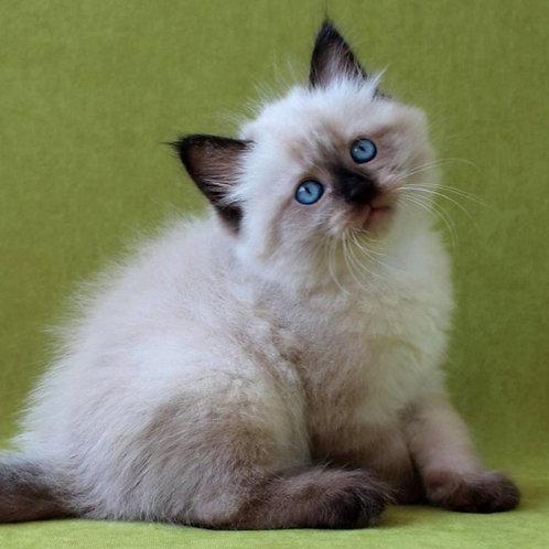 205 Freestail      Siberian male kitten