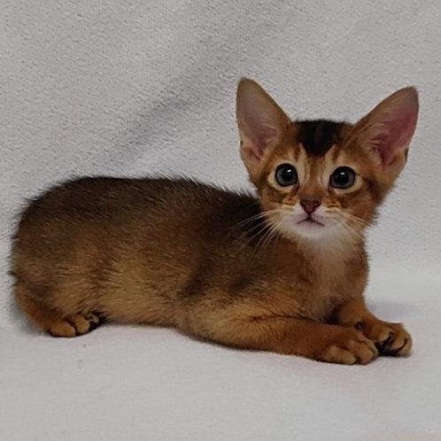 46 Fiji    purebred Abyssinian male kitten