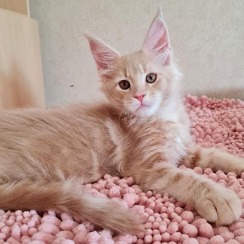 441 Ilya Murometz  Maine Coon male kitten