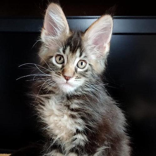 687 Ben Gan  Maine Coon male kitten