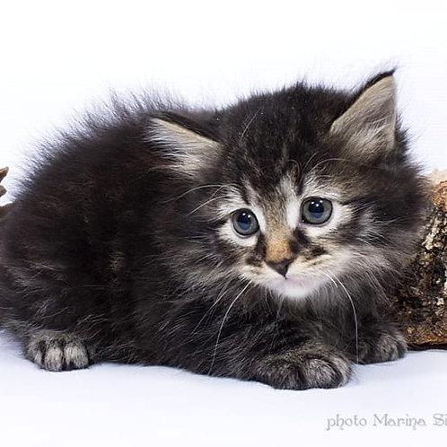 839 Aisha longhair  Kurilian Bobtail female kitten