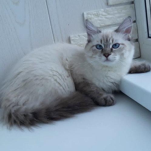 246 King     Siberian male kitten