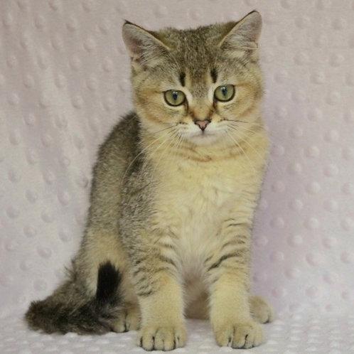 729 Hilton  British shorthair male kitten