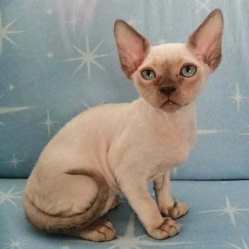 169 Archie  male kitten Devon Rex