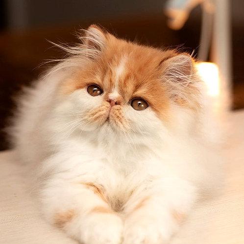 203 Mandarin   Exotic longhair  male kitten