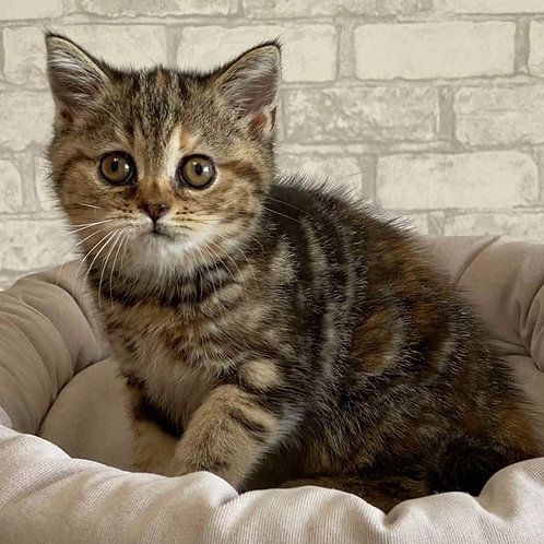 717 Faina   Scottish straight shorthair female kitten