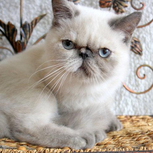 253 Lola Exotic  female kitten