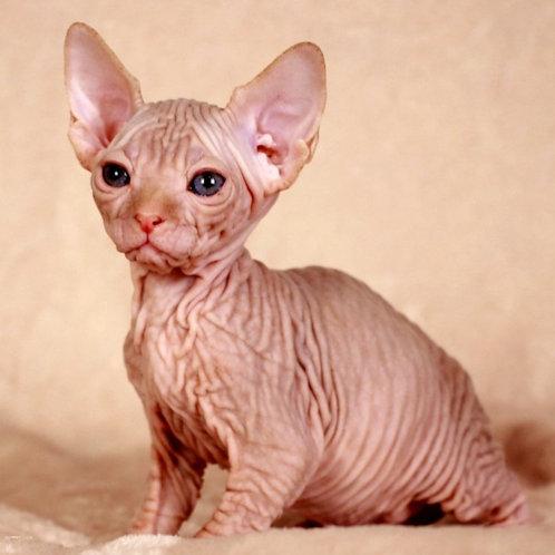 542 Xmas male Sphinx kitten