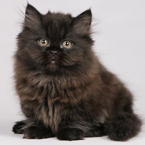 49 Julianne  Munchkin longhair female kitten